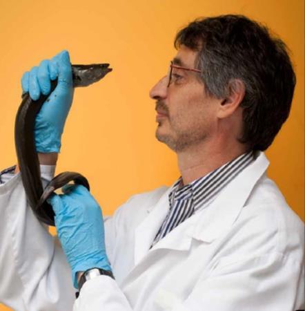 Conditioning NZ Shortfin Eels
