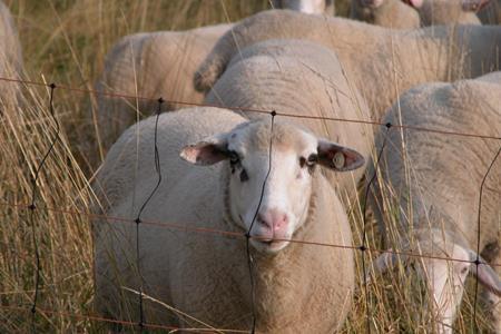 Sheep Measle Vaccine